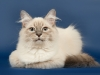 Невский маскарадный котенок
