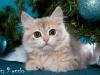 Сибирский котенок золотого окраса.