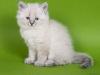 Невский маскарадный котенок Осень Невская Тайна