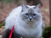 Невская маскарадная кошка Осень