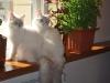 Невские маскарадные котята