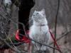 Невская маскарадная кошка Осень Невская Тайна