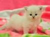Невский маскарадный котенок Упавушка