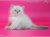 Невский маскарадный котенок Ураган Невская Тайна