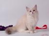 Невский маскарадный котенок Услада