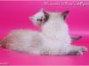 Невский маскарадный котенок Узоринка